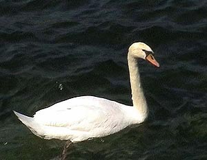 Schwan in Malcesine am Gardasee